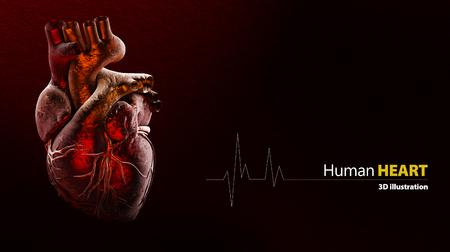 3d illustratie van anatomie van menselijk hart