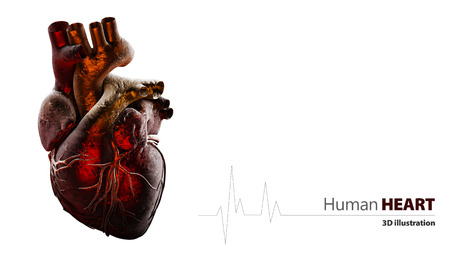 3d Illustration of Anatomy of Human Heart Isolated on white