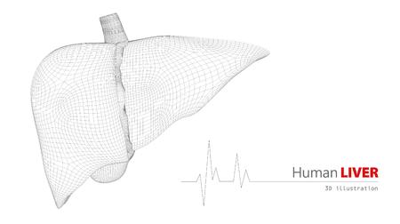 3d Illustration of Anatomy of Human Liver