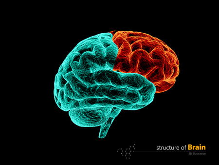Human brain, frontal lobe anatomy structure. Human brain anatomy 3d illustration.