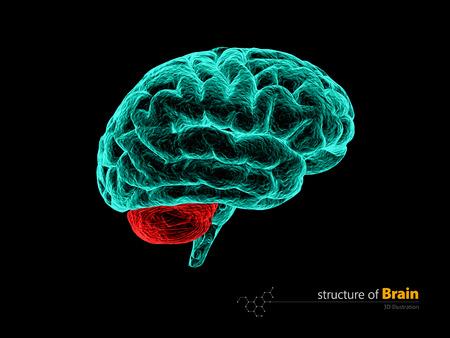 occipital: Human brain, cerebelum, anatomy structure. Human brain anatomy 3d illustration. Stock Photo