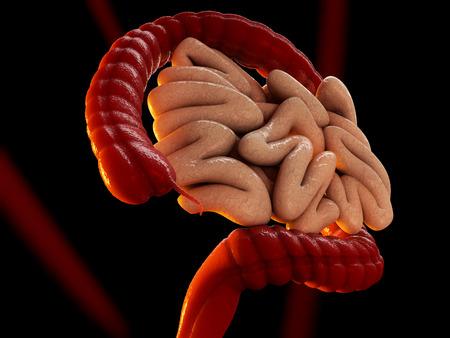 Large intestine or colon human bowel as a digestive system organ, isolated on black 3D illustration Foto de archivo
