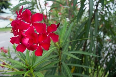 Red Oleander flowers bloom beautifully Stock Photo - 15560274
