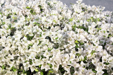 The beautiful white bougainvillea flowers  photo