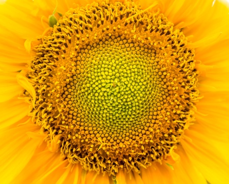 macro sunflower  photo