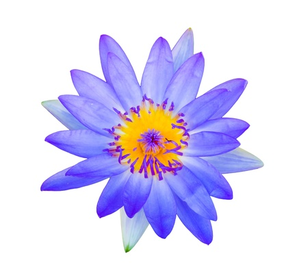 Purple lotus flower photo