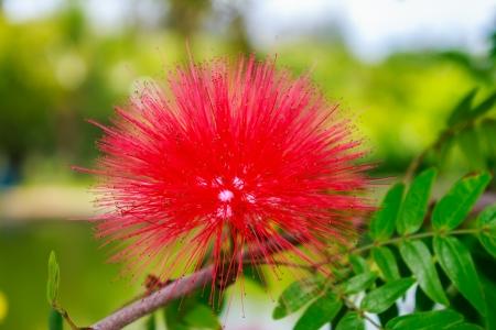 powder puff: red flower red powder puff Stock Photo
