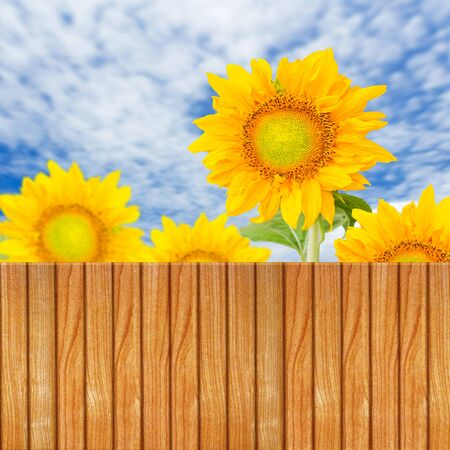 Wooden fence with beautiful sunflowers  photo