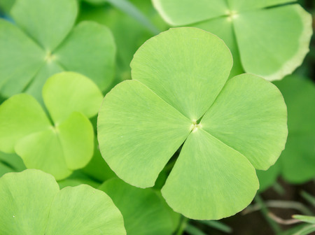 marsilea: Water clover  Stock Photo