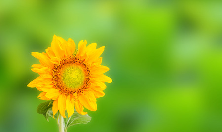 Sunflower on green background photo