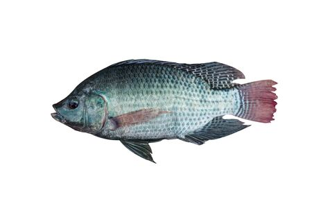 oreochromis: Mango fish Stock Photo