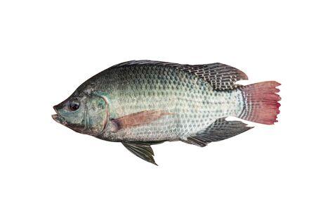 cichlidae: Mango fish Stock Photo