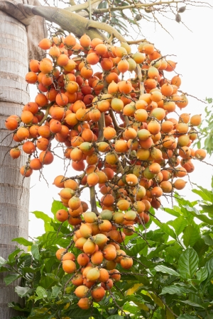 group of raw betel nuts tree  photo
