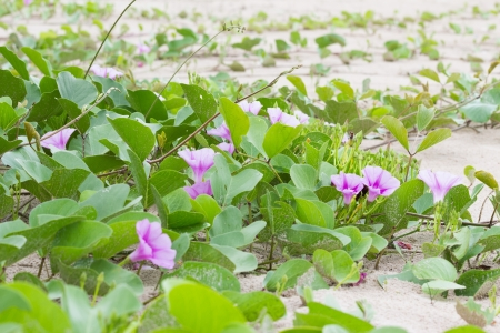 pes caprae: Ipomoea plants on the beach  Stock Photo