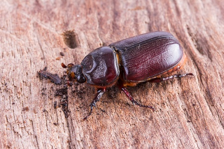 coleoptera: close up Coleoptera on wooden board