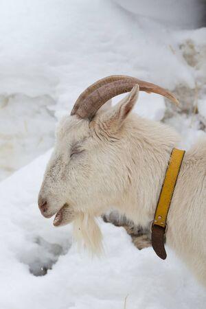 svan: colpo di testa di una capra bianca