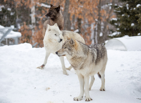 wolves gather on snow photo