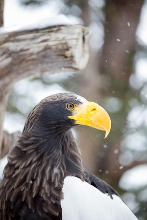 chrysaetos: golden eagle (Aquila chrysaetos) Stock Photo