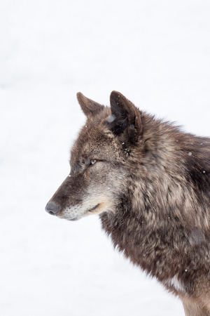 face of big brown wolf