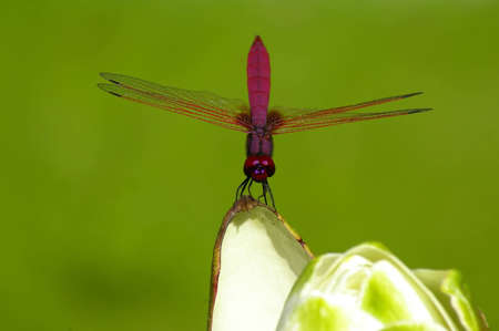 Dragonfly On The Blossom