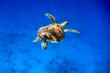 deep sea: Swimming green sea turtle