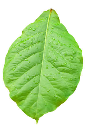 Detail of an isolated green leaf with water drops