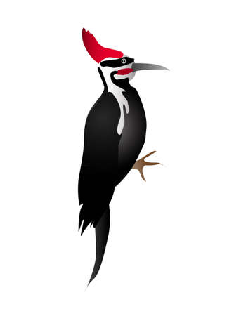 Black and white woodpecker with red head isolated on the white background Illustration