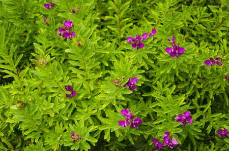 Violet blossoms of Polygana Dalmaisiana Milkwort shrub