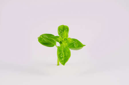 Fresh herb plant isolated on the white background