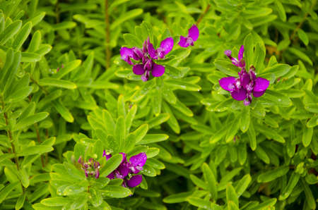 Violet blossoms of Polygana Dalmaisiana Milkwort shrub