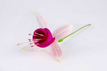 Young pink blossom of fuchsia on the stalk, isolated on the white background