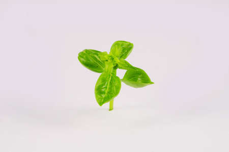 Fresh herb basil plant isolated on the white background