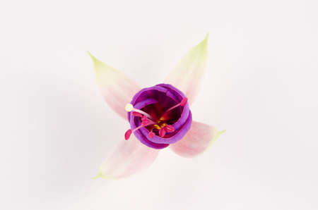 Young pink blossom of fuchsia isolated on the white background