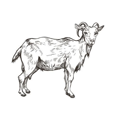 Vector image of goat in style of engraving. Agricultural illustration