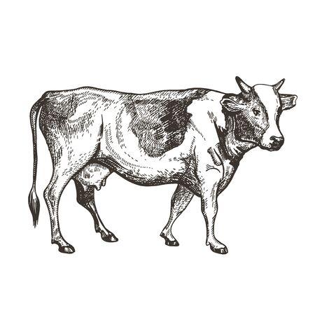 Vector image of a cow. Vintage sketch.