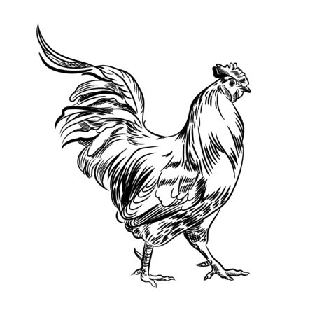 Vector image of a rooster. Agricultural illustration. Domestic bird. Illustration