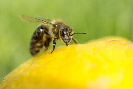 distributing: Close up of a bee inspecting a lemon