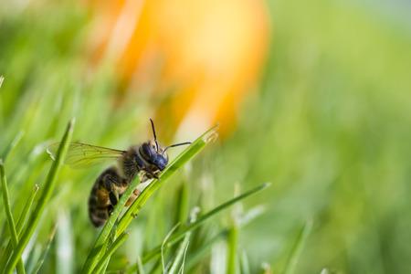 honeybee: honeybee climbing on a blade of grass