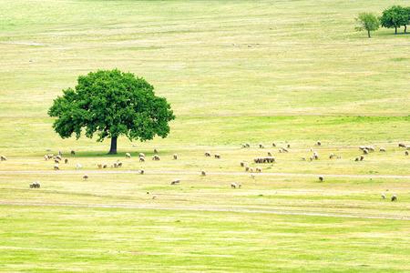a flock of sheep near an oak photo