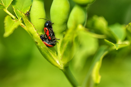 coccinella: Two red bugs mating