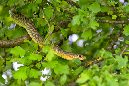 snake bite: Snake in the tree Stock Photo