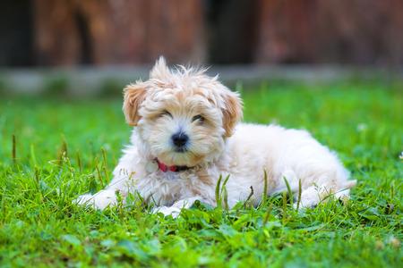 havanais: A Bichon Havanais puppy resting in the grass Stock Photo