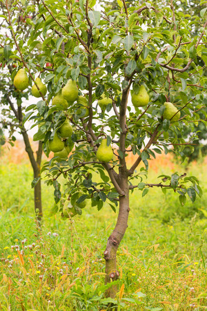 Small pear tree filled with fruit. Imagens