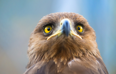 birds of prey: Birds of prey - Aquila pomarina - Lesser Spotted Eagle Stock Photo