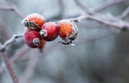 briar bush: Frozen rose-hips covered with ice Stock Photo