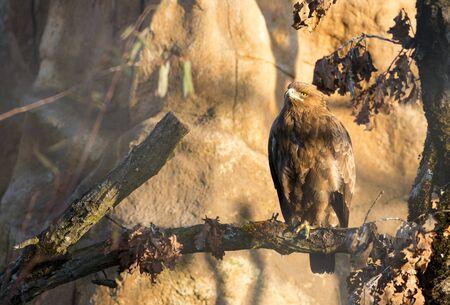 prey: Birds of prey - Aquila pomarina - Lesser Spotted Eagle Stock Photo