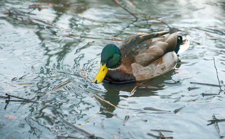 swimming bird: Wild duck on river surface Stock Photo