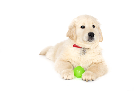 golden ball: Golden retriever puppy lying and looking at the camera isolated on white
