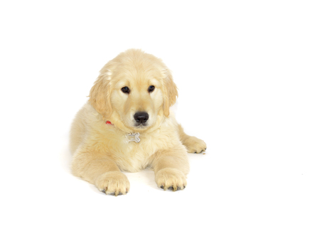 lays down: Golden retriever puppy lying and looking at the camera isolated on white