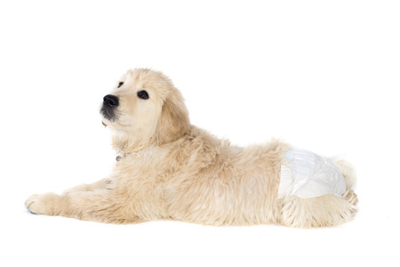 belly band: Golden retriever puppy in dog diapers looks down. Isolated on white. Stock Photo